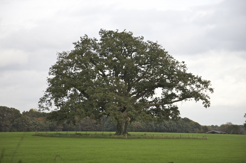 De grote eik bij kasteel Vorden, één van de monumentale bomen in de gemeente Bronckhorst.