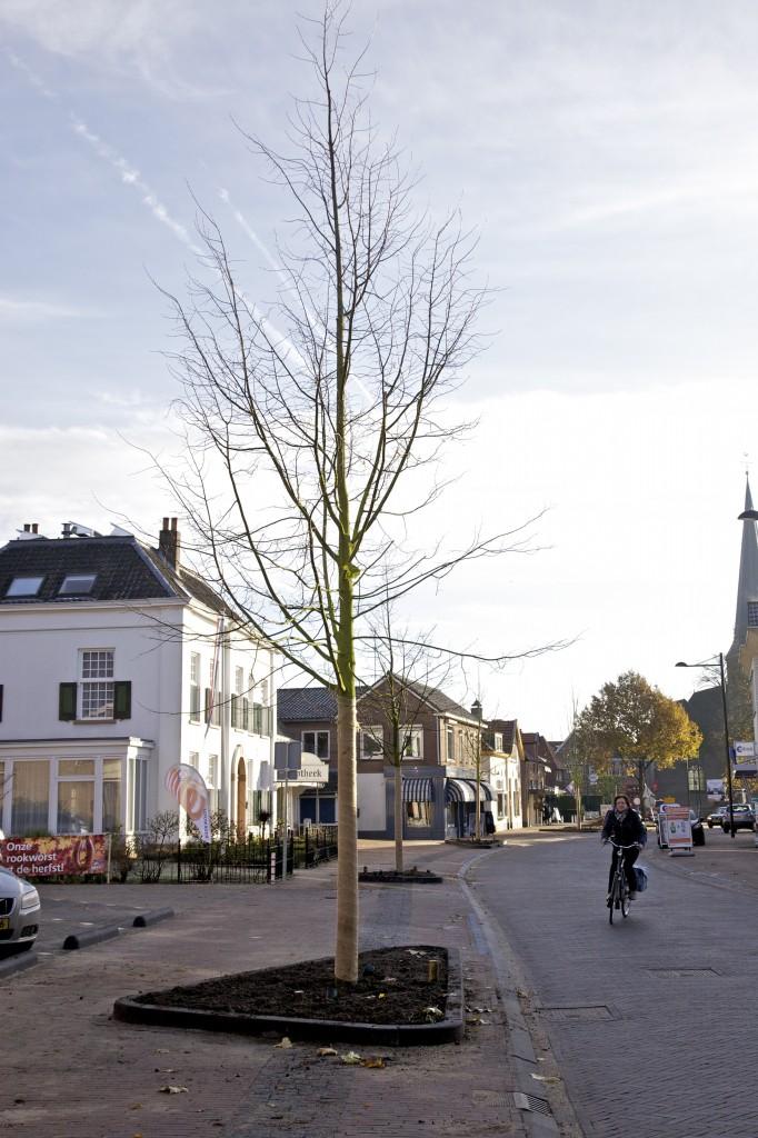 De nieuwe winterlinden aan de Zutphenseweg in Vorden.