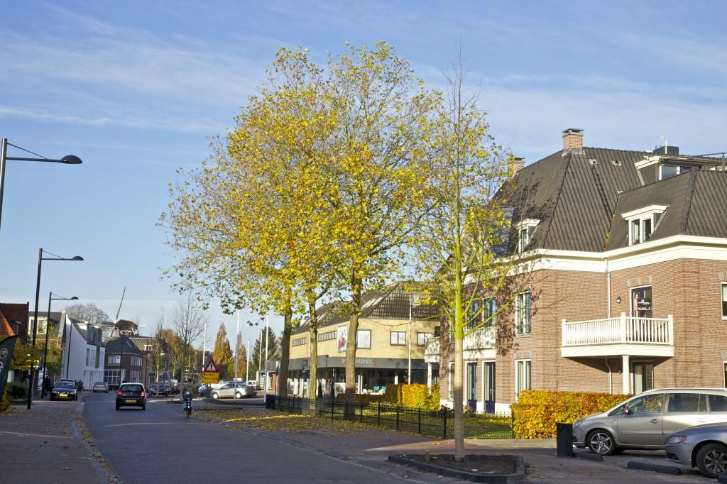 Aan de Zutphenseweg kon de gemeente drie platanen niet kappen, omdat deze op particulier terrein staan en de eigenaar geen toestemming gaf voor kap. Op de voor- en achtergrond de nieuwe winterlindes (foto: Hans Thijssen).