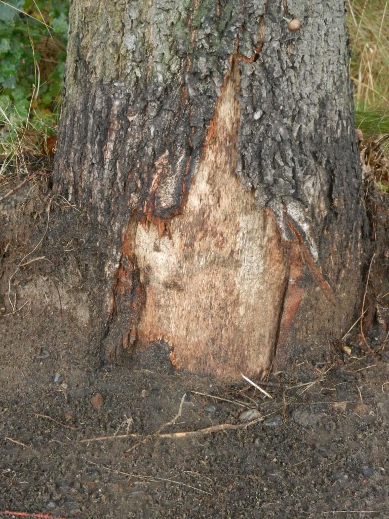 De bermen waren schoon maar de ene na de andere boom had schade opgelopen door de machines.