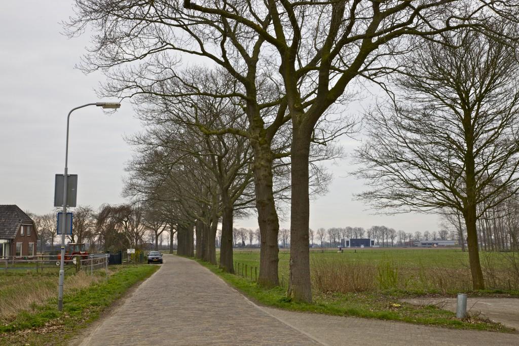 Wat gaat er gebeuren met de 50 Amerikaanse eiken langs de Onderstraat in Bronkhorst. De gemeente wil een zevental bomen binnenkort kappen en wil overleggen over de andere 43 bomen (foto: Hans Thijssen).