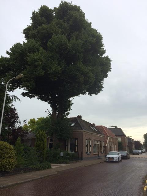 De ruim 120 jaar oude linde aan Het Hoge in Vorden.
