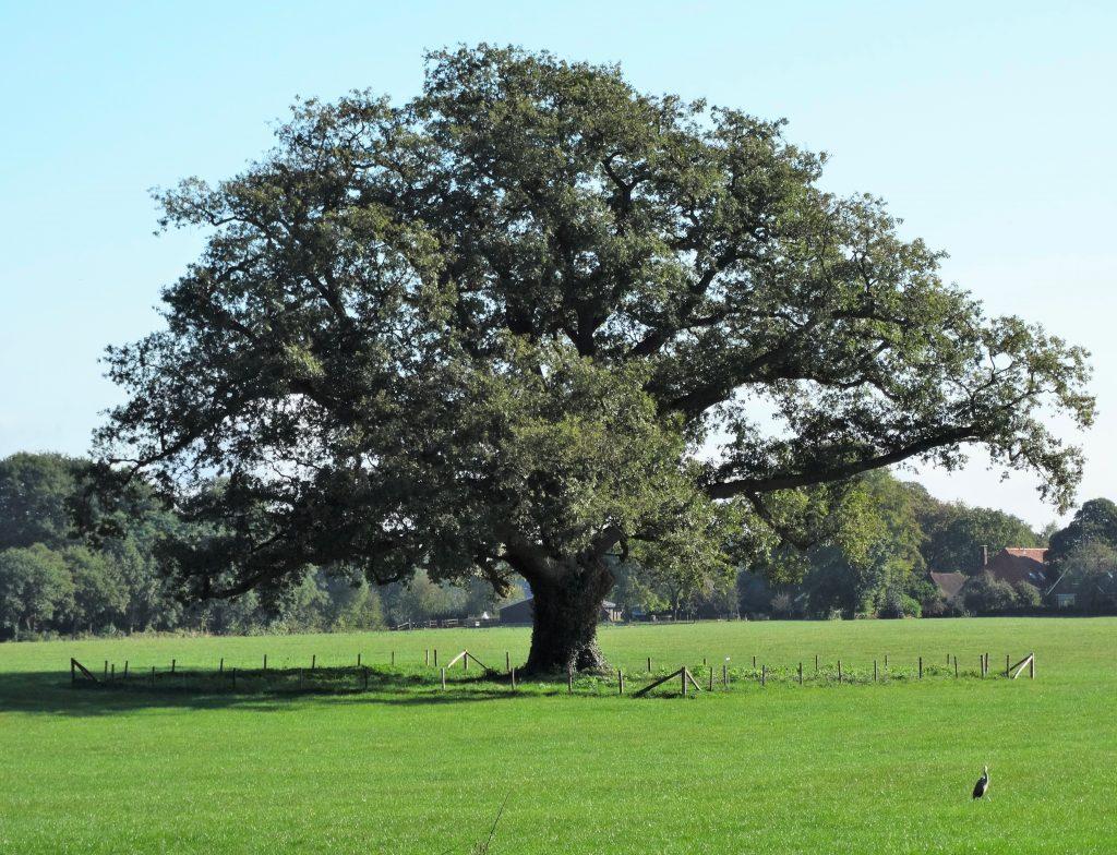 De imposante zomereik in het weiland achter kasteel Vorden is geplant tussen 1750 en 1800.