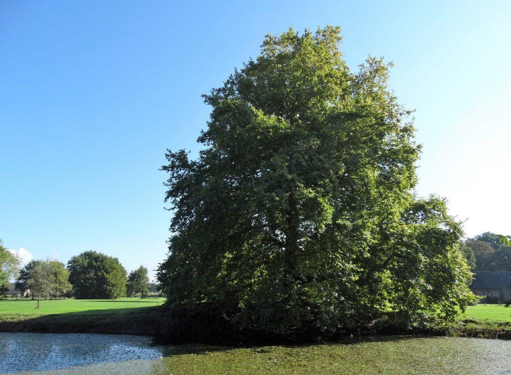 In de tuinen van landgoed de Wildenborch staat onder andere deze moerascipres die geplant is tussen 1820 en 1830.