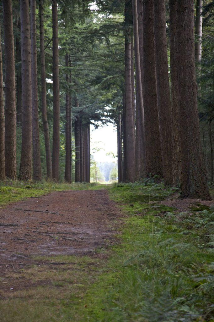 't Waliën kent veel lanen. Dit is één van de oudste met tot 45 meter hoge Douglas sparren (foto: Hans Thijssen).