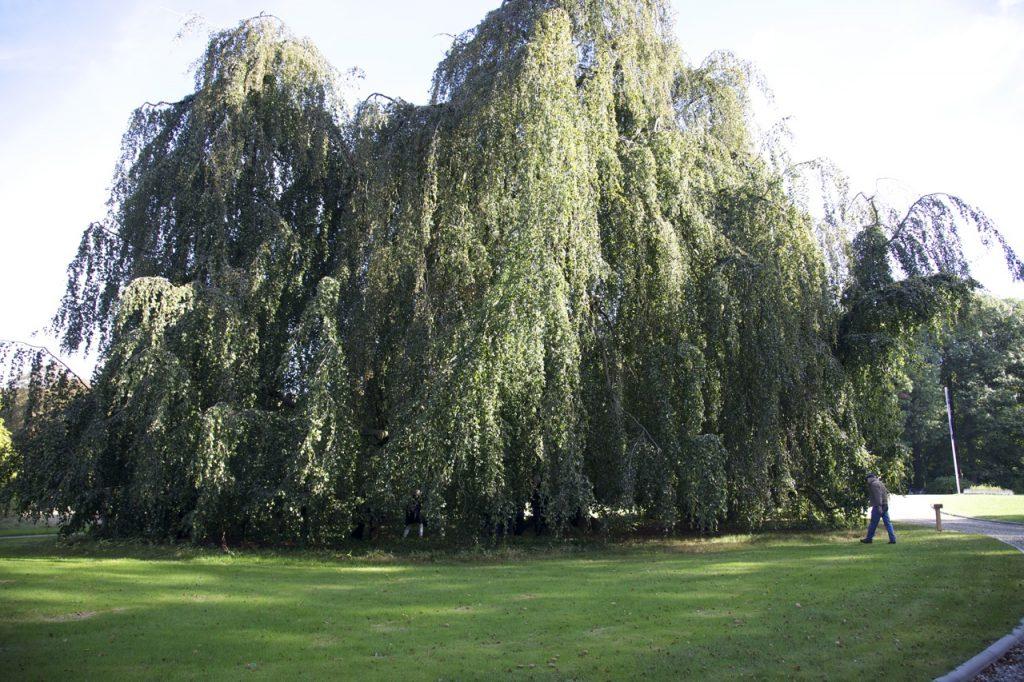 De meer dan een eeuw oude treurbeuk in de tuin van landgoed 't Waliën. De omvang van de 'kroon' bedraagt ruim 100 meter (foto: Hans Thijssen).